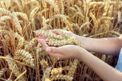 Bambino tiene in mano spighe di grano